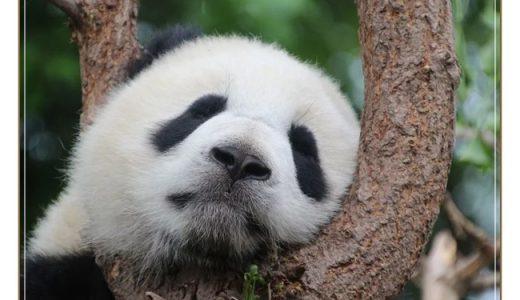 ZIP!ベラベラENGLISHパンダの星星の声は誰?英語と中国語が得意な芸能人って?